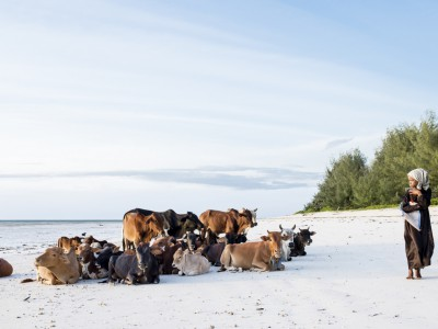 Cows on the Beach